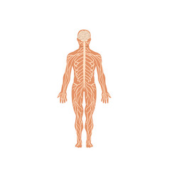 human nervous system anatomy of human body vector image