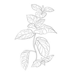 mint a branch vector image
