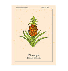 Pineapple ananas comosus tropical plant vector