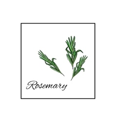 Rosemary Isolated drawn herbs on white vector