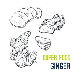 Ginger super food hand drawn sketch vector