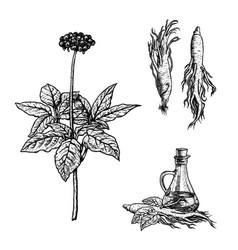 hand drawn set of ginseng plant oil and roots vector image