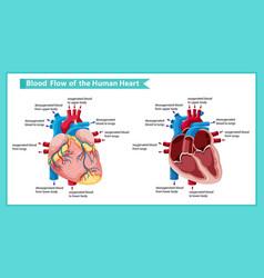 Scientific medical ofblood flow through heart vector