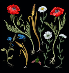 botanical flowers such as poppies chamomile ear vector image