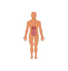 Human excretory system anatomy of human body vector