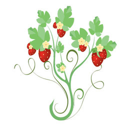 strawberry plant with flowers vector image