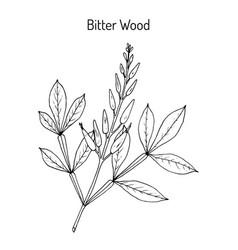 bitter-wood quassia amara medicinal plant vector image