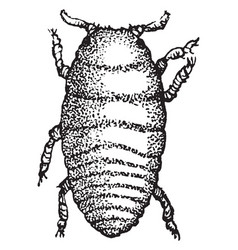 Grape gall louse larva vintage vector