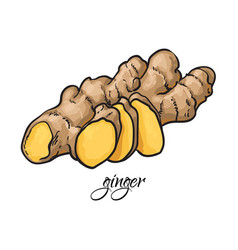 Hand drawn fresh ginger root with caption vector