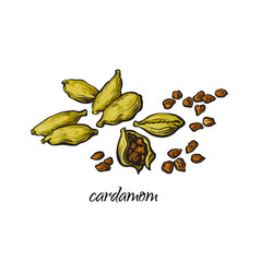 Pile heap of cardamom cardamon pods and seeds vector