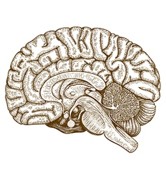 engraving human brain vector image