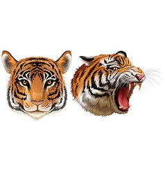 Head of the tigers vector image