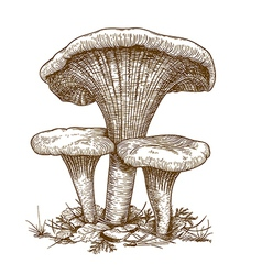 Engraving three mushrooms vector