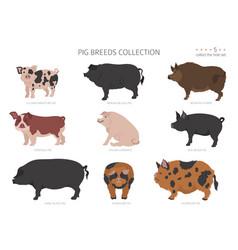 Pig breeds collection 5 farm animals set flat vector