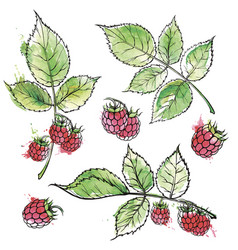 Hand drawn raspberry colored sketch watercolor vector