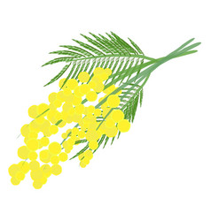 mimosa for womens day vector image