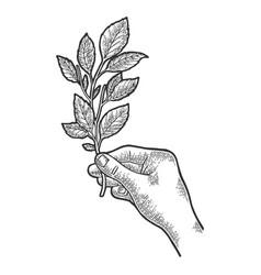 branch tea plant sketch engraving vector image