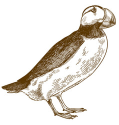 Engraving antique horned puffin vector