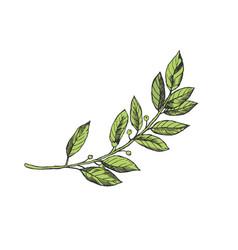 Laurel branch engraving vector