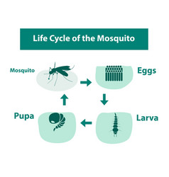 life cycle of the mosquito in monochrome style vector image