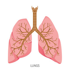 lungs human internal organ diagram vector image