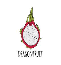 dragonfruit sketch for your design vector image