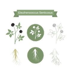 Eleutherococcus senticosus isolated plant on white vector