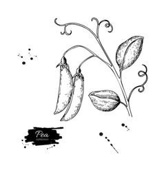 Pea pod hand drawn isolated vector