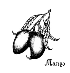 Hand drawn mango branch with leafs Sketch style vector image vector image