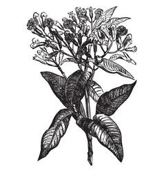 Clove tree vintage vector