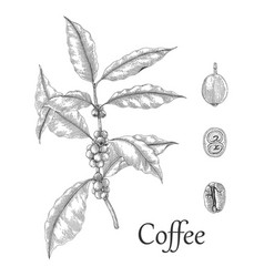 Coffee tree hand drawing engraving style vector
