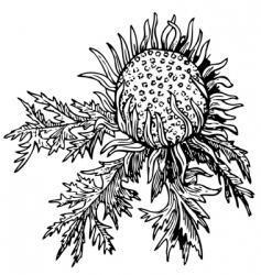 stem less carline vector image vector image