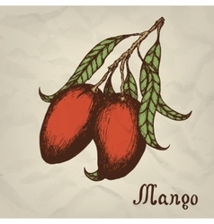 Branch with mango hand drawn vintage style vector image