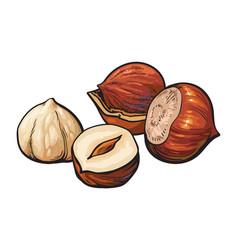 Hazelnuts isolated on white background vector