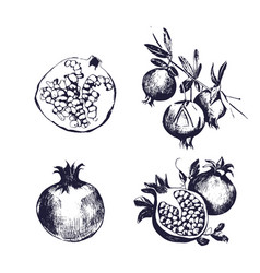 pomegranate hand drawn set collection on white vector image