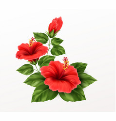 beautiful hibiscus flower buds and leaves vector image