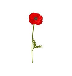 red poppy flower with stem floral design element vector image