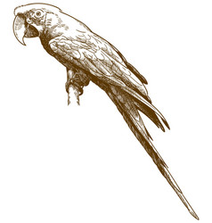 engraving antique green-winged macaw vector image