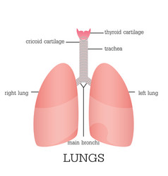 human lungs anatomy vector image