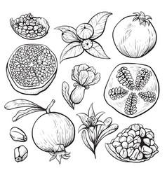 pomegranate fruit sketch fresh vegetarian diet vector image