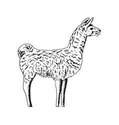 llama cute ink pen sketch alpaca realistic lama vector image