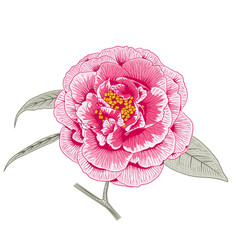multicolored pink camellia rose double form flower vector image