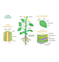 Plant structure and cross section biology diagrams vector