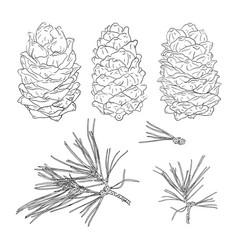 set from fir tree branches and fir cones template vector image