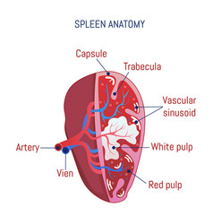 Spleen anatomy icon cartoon style vector