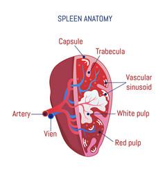 spleen anatomy icon cartoon style vector image