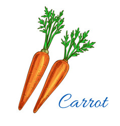 carrot vegetable isolated sketch icon vector image