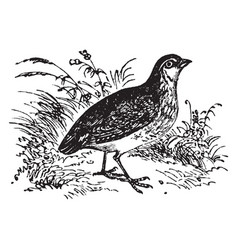 Common quail vintage vector