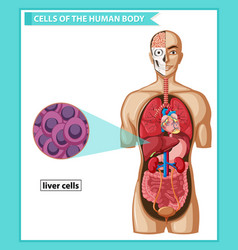 Scientific medical human liver cells vector