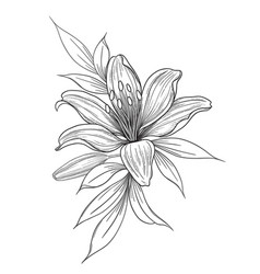 hand drawn lily flower with bud and leaves vector image